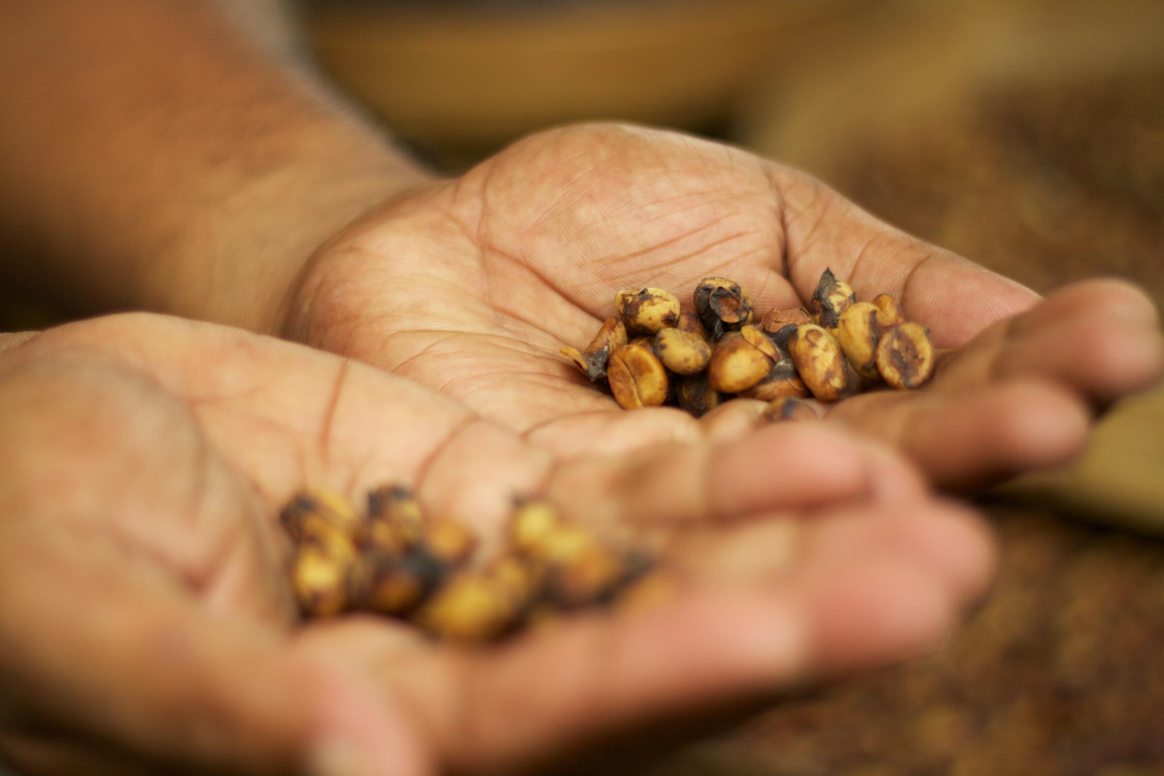 The famous kopi luwak coffee